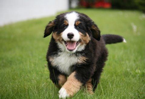 A quel âge puis-je commencer l'éducation de mon chiot? / When can i start my puppy's training?