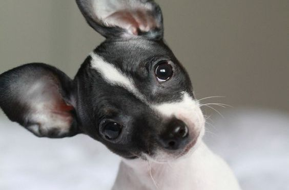 Pourquoi les chiens inclinent leurs têtes quand nous parlons?/ Why do dogs tilt their heads when we talk?