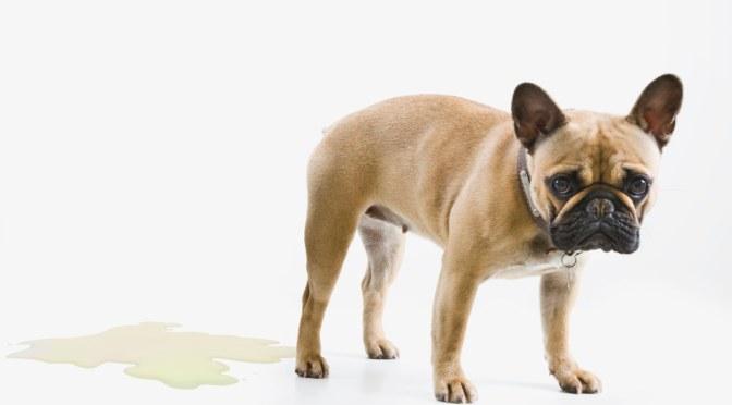 Mon chien fait pipi quand je lui dis bonjour, que faire?