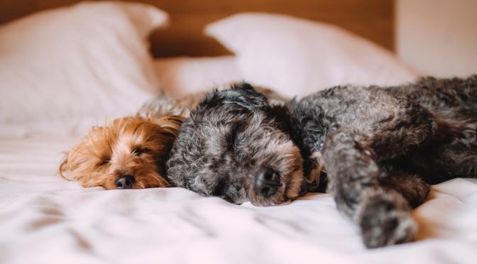 Les solutions face aux chutes de poils canins