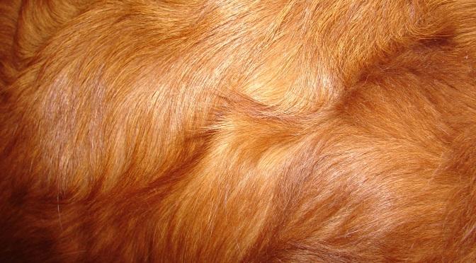 Pourquoi mon chien perd-t-il ses poils?